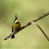 A little bee-eater eats a dragonfly with the ease of a sword...