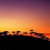 Araucária pine trees in silhouette against the sunset sky of...