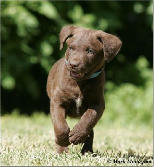 Chesapeake Bay Retriever Puppy - Duck Hunting