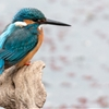 Kingfishers are like tiny jewels. So thrilled I finally got to...