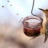 Gila Woodpecker ~ Gilaspecht ~ Melanerpes uropygialisAside from...