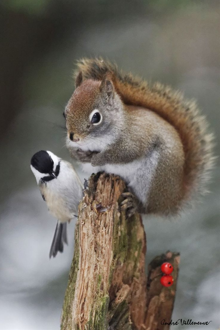 Christmas Squirrel & Chickadee