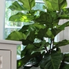 "How to Care for This Year's ""It"" Houseplant"