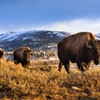 Bison in Yellowstone's northern range. by Jason Savage ...