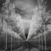 VBoardman treefarm. infrared by Bruce Couch ...