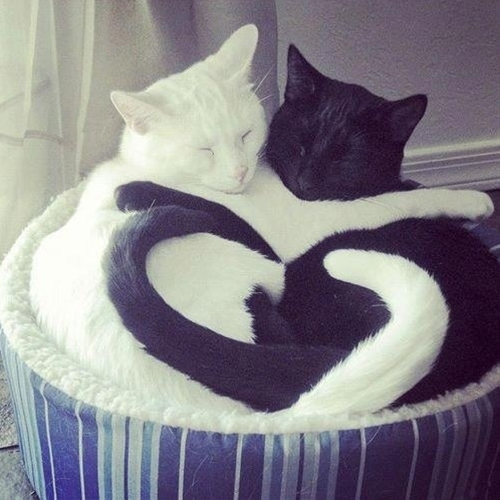 I wonder if my black cat and my mom's white cat could ever get along like this?
