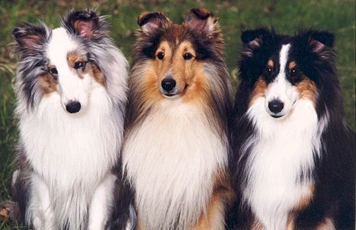 Shelties.....
