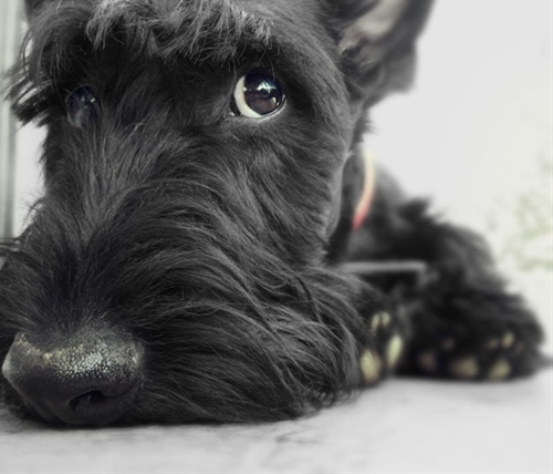 Gavin the Scottish Terrier