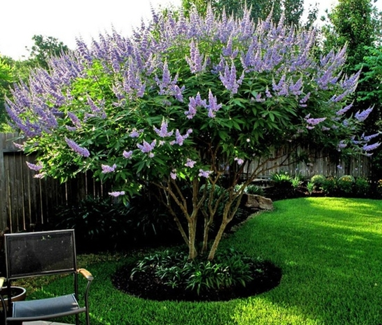 Vitex- one of my favorites-  this one is quite mature.