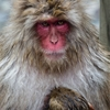 Mother and Child by João MaiaA female snow monkey macaca fuscata...