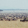 One of the most amazing scene I've ever witnessed | Wildebeest...
