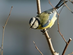 One of the main characters at this winter's bird feeding. by...