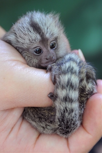 A newborn marmoset rests its head on the hand of an animal keeper at the zoo in Eberswalde, Germany.