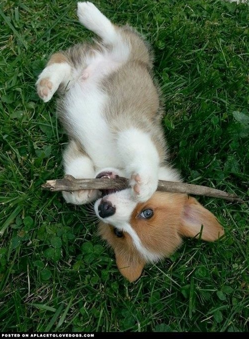 Corgi Puppy...probably the cutest puppy in the history of puppies