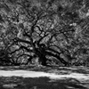 Angel Oak 001 BWThis is the Angel Oak Tree in John's Island near...