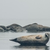 Djursvik, Resting seal by Anders  (astd60.tumblr.com)