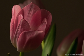 nwalthall:  Late Winter Tulip Festival 7 on Flickr.
