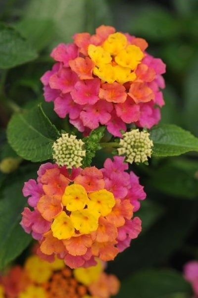 Lantana - a staple in my garden for years