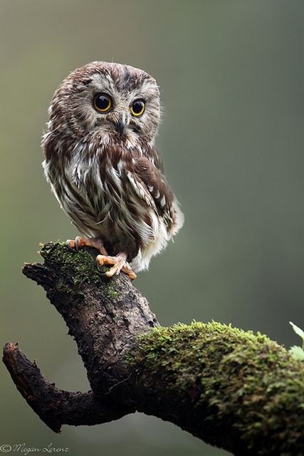 Northern Saw, Whet Owl Able to induce vomiting in predators through sheer cuteness and adorability.
