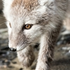 Arctic fox portrait by Celestial Navigation ...