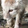Arctic fox portrait by Celestial Navigation...
