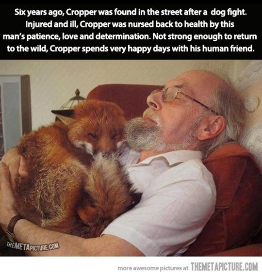 Six years ago, Cropper was found in the street after a fight with dogs. Seriously injured and ill (toxoplasmosis), Cropper was nursed back to health by this man's patience, love and determination. Not strong enough to return to the wild, Cropper spends very happy days with his human friend. Thank you Sir!
