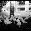 Doves #5Shot in Dorchester, England, with a Rolleiflex SL-35. by...