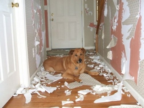 redecorating dog
