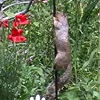 This squirrel is trying so hard to climb a Vaseline-slathered pole.