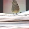 Black Redstart (fledgling) ~ Hausrotschwanz (Ästling) ~...