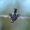 This Black Chinned Hummingbird has apparently decided to spend...