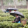 Tea Time-anytime rain does not stop the harvest for tea workers...