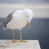 Gull by Olivier Hertel (olivierhertel.tumblr.com)