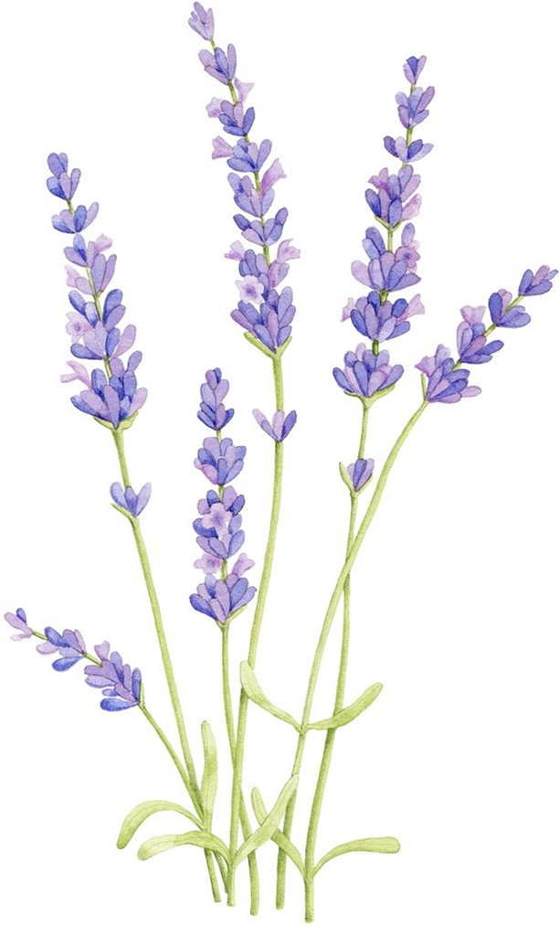 lovely lavender watercolor