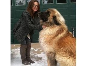 Meet Simba, a german mountain dog. So majestic! #9gag