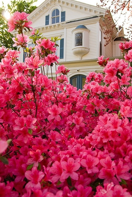 """Lovely Flowerbed of Azaleas, Tyler and East Texas are known for beautiful displays of flowers.  Tyler celebrates Spring & Azaleas with annual """"Azalea Trails"""""""