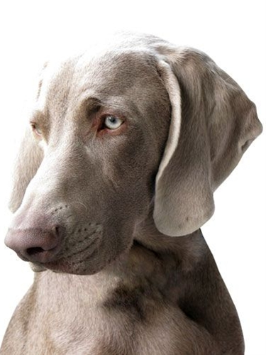 Dog: Weimaraner this makes me miss my babies so much! Hands down one of the most beautiful breads around in my opinion!