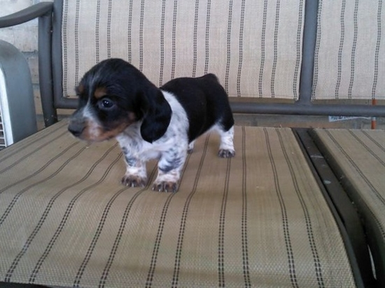 gahhh!!!! mini dachshund puppy