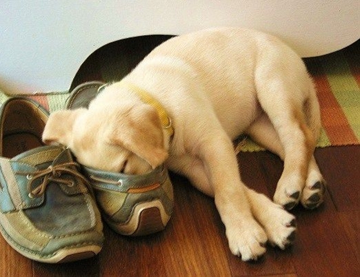 this is how Sophie slept as a pup, with her nose in Troy's shoe when he was gone...like she was snuggling with his scent!