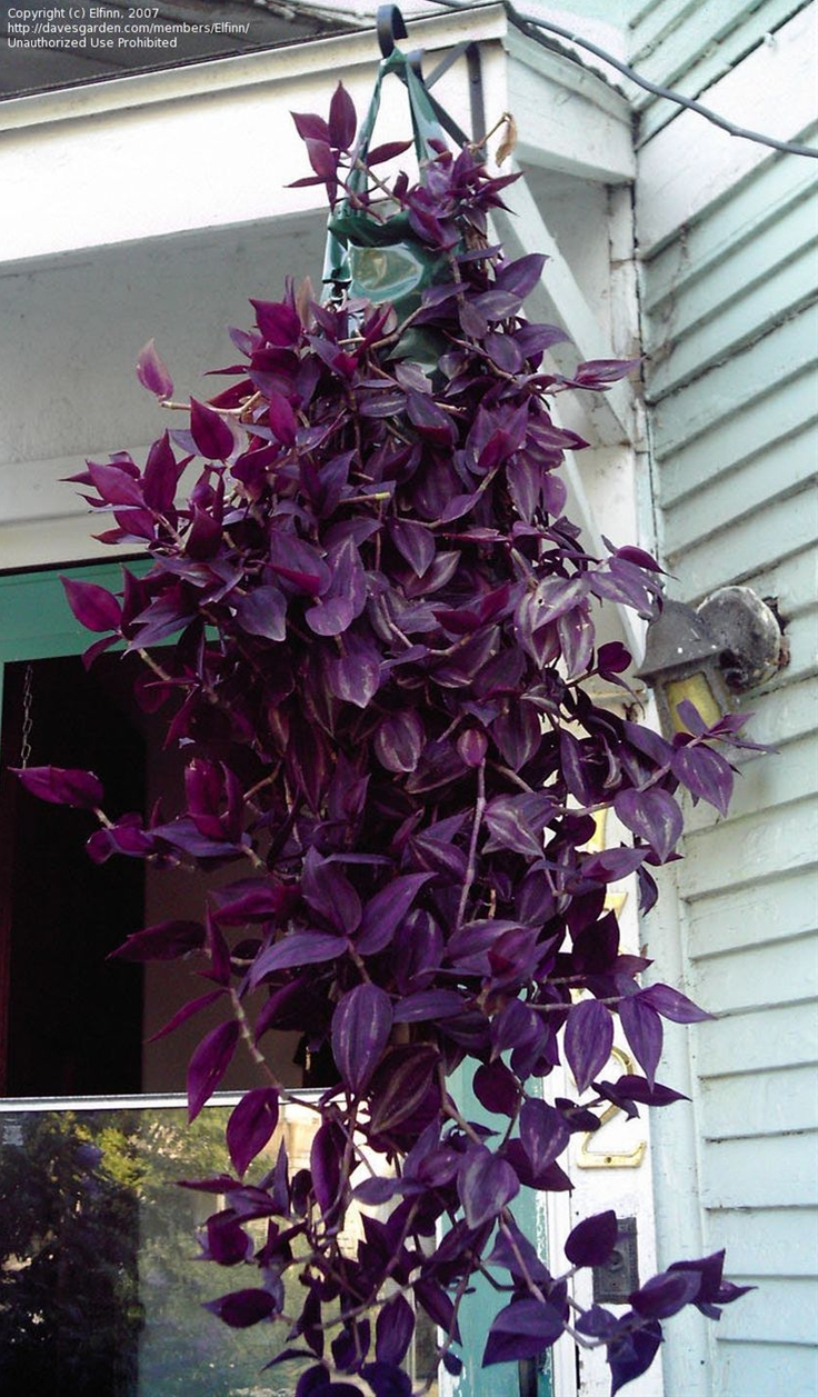 How to care for a Wandering Jew Plant- One..don't touch them..ever, they don't like being moved around.