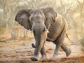 Elephant moonwalk, Tanzania by Patrick Galibert