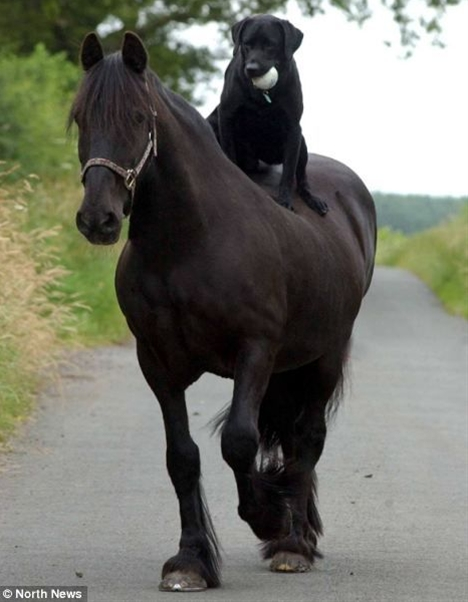I wasn't sure there was a specific law banning a pedigree black labrador from riding a Dales Cross Cob across the Cumbrian countryside, but I reckoned there'd be something on the statute books outlawing this act of canine and equine eccentricity.