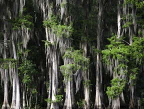 cypress stand…magnificent trees@2015 Helena Long all rights...