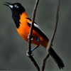 Venezuelan Troupial - National Bird of VenezuelaHouston Zoo by...