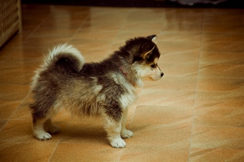 Pomsky: Pomeranian and Siberian Husky mix... i'm in love!!