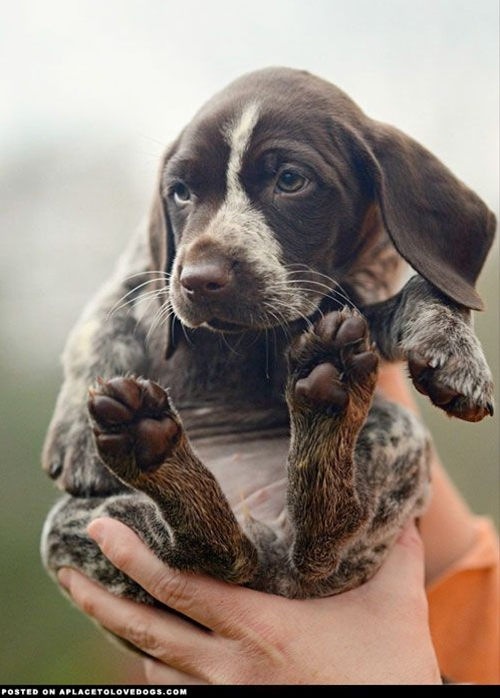 One handful of awwwwdorable and one handful of cute puppy. I'll take two handfuls please! German Shorthair Pointer pup