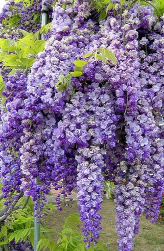 Thick clusters of Wisteria flower buds signal the arrival of spring. I want some!