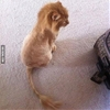 My friend shaved his cat and turned it into Simba