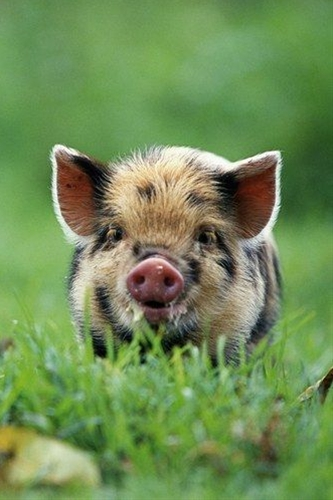 We challenge anyone to find something more sweet than a micro-pig...