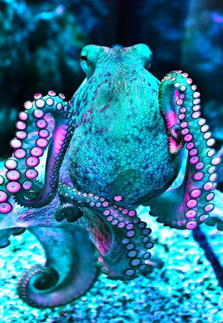 An octopus has a hard beak, with its mouth at the center point of the arms. Octopus lack an internal or external skeleton allowing them to squeeze through tight places. Octopuses are among the most intelligent and behaviorally flexible of all invertebrates.